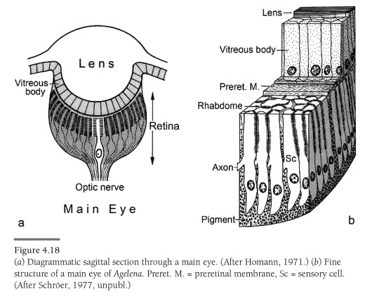 Diagram Of Tarantula Eyes - DIY Enthusiasts Wiring Diagrams •